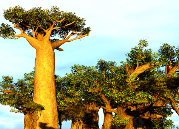 Organic Baobab Seed Oil