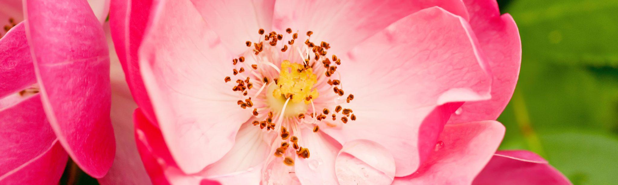Rosehip-Flower