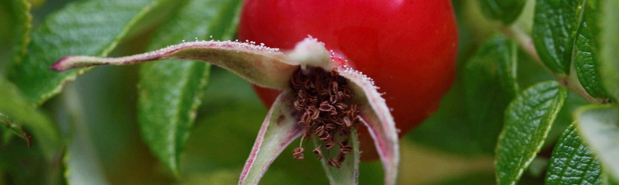 Rosehip-Seeds